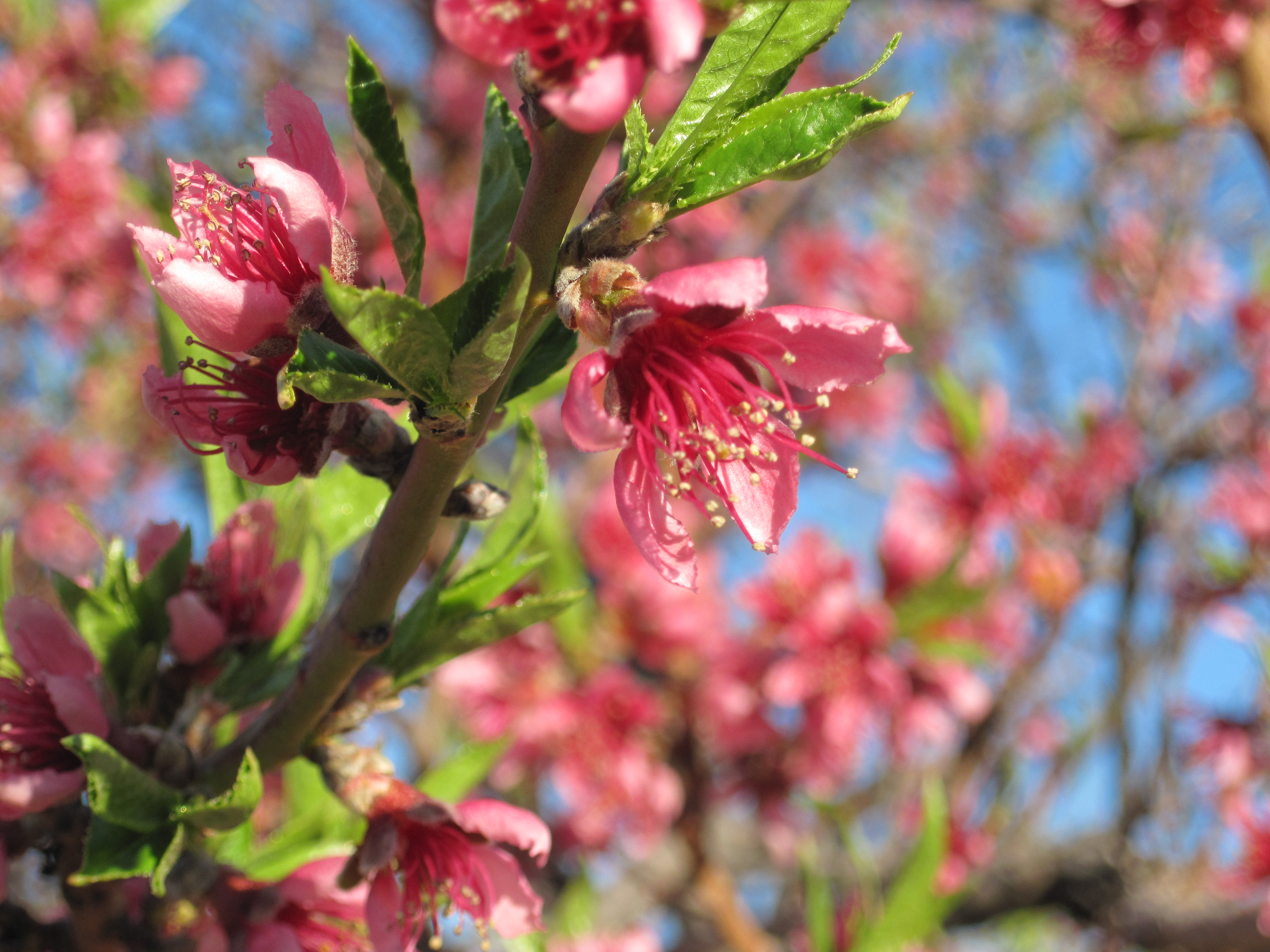 Celebrate every little thing including spring in new for The peach tree